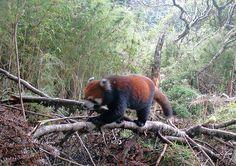 Photos et vidéo rares de pandas géants sauvages en Chine - notre-planete.info