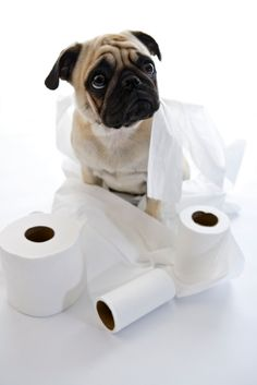 Potty Training Your Baby Pug