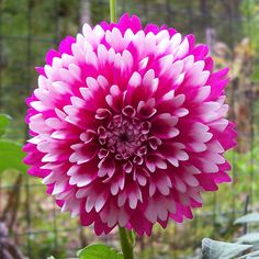 Dinner Plate Dahlia use a single stem for bridesmaids