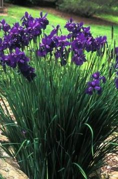 clay tolerant-Siberian Iris-Height: 2-3 feet. Width: 2-3 feet. Bloom: Lavender, June. Cultivars: 'Caesar's Brother' 'Little White'. Notes: Very wet tolerant, fine grass-like foliage. Best in sun to part shade.