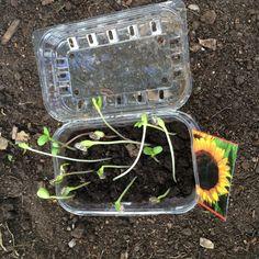 Minikasvihuone | lasten | askartelu | kesä | käsityöt | koti | kierrätys | puutarha | kasvattaminen | DIY ideas | kid crafts | summer | recycling | garden | planting | Pikku Kakkonen