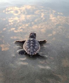 This newly-hatched loggerhead turtle embarks on its first adventure as it heads toward the ocean near the Cocoa Beach Pier. Turtle season is May-Oct. Cute Funny Animals, Cute Baby Animals, Sea Turtle Wallpaper, Sea Turtle Pictures, Cute Baby Turtles, Loggerhead Turtle, Turtle Love, Animal Magic, Alligators