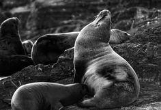 fotos que importan: Leones marinos cerca de Ushuaia