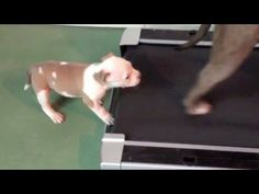 Pit Bull Puppy tries out treadmill - REALLY CUTE