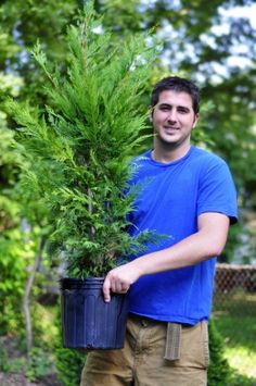 Tips for Planting Leyland Cypress Trees