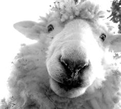 Sheep Lamb Photograph black and white new zealand by elliebelley,