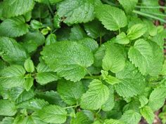 Prirodni lijek: Kako iskoristiti matičnjak iz naših vrtova