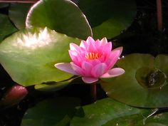 Lotus, Deer Park Monastery / Flower Medicine / Creative Commons License