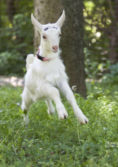 Saanen Kid Goat - looks like this one might have been recently de-horned, a procedure usually done in the first month of life.