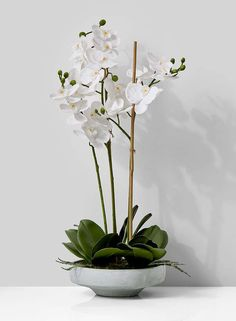 White Phalaenopsis Orchid In Low Cement Pot