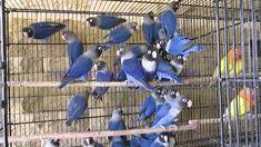 Violet Personata Lovebirds of Syed Ovais Bilgrami Love Birds Pet, African Lovebirds, Pet Bird Cage, Budgies, Parrots, Bird Tree, Green Wallpaper, Exotic Birds, Beautiful Birds