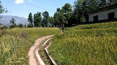 Balakot wheat field, Heaven on Earth Wheat Fields, Heaven On Earth, Vineyard, Country Roads, Travel, Outdoor, Outdoors, Viajes, Trips