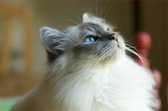 A Birman in your life makes everything all better....