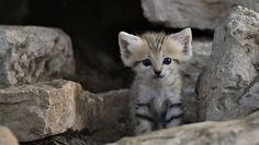 Rare sand cat kittens born in Israel | MNN - Mother Nature Network