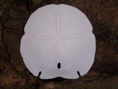 Large Arrowhead Sand Dollar for Crafting Painting Weddings or Display Coastal Home Decor