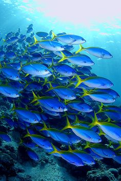 SCHOOL of blue fish