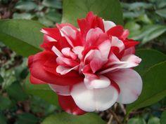 Taken Jan. 13, 2013 Bill Craft Park, Greensboro, NC. Camellia japonica.