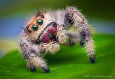 What amaznig detail -- makes you look at spiders differently ... jumping-spiders-macro-photography-thomas-shahan-9
