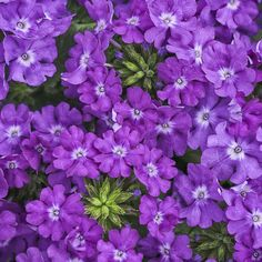 """SUPERBENA® VIOLET ICE (Verbena hybrid): Soft violet blooms with distinctive eye adds a new coloration to the Superbena series.  Extremely large flowers and heat tolerant. Use in containers and hanging baskets to attract butterflies.  8-12"""" height, 24-30"""" spread.  Full sun.  Plant Information: http://emfl.us/o-Gd  Video Link: http://emfl.us/q-Gd"""