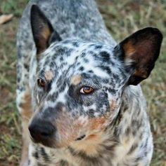 272 Best Unconditional Love Blue Heelers Images In 2017