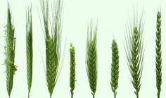 Wheat Varieties | ACPFG Cactus Plants, Grains, Cacti, Cactus, Seeds, Korn