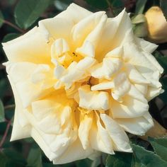 Rêve d'Or (Climbing Rose)