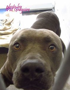A4788664 I am a friendly 3 yr old neutered male gray pit bull mix. I came to the shelter as a stray on Jan 2. available 1/6/15. located in bldg 4 - no public view NOTE: Bully breeds are not kept as long as others so these dogs are always urgent!! Baldwin Park shelter https://www.facebook.com/photo.php?fbid=906412916037213&set=a.705235432821630&type=3&theater