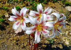 Flores silvestres en la Cordillera de los Andes, Santiago de Chile. Karin Mengers