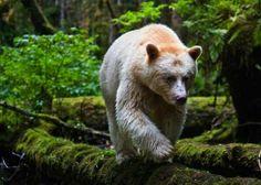 Rare Spirit Species Captures - Paul Nicklen Photographs Unbelievable Images of the 'Kermode' Bear