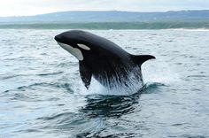 Female Orca - photographed off the coast of Schoennies at Port Elizabeth South Africa 2012 where I live :)