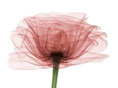 X-ray photography: hidden beauty inside (rose)