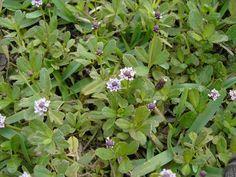 Florida - Native butterfly nectar and host plant - Phyla nodiflora (Turkey Tangle Fogfruit)