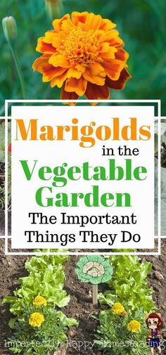 Marigolds in the vegetable garden, the top 6 reasons you should be planting marigolds in the vegetable garden for amazing benefits. Backyard Vegetable Gardens, Vegetable Garden Design, Garden Landscaping, Landscaping Ideas, Spring Vegetable Garden, Gardening Vegetables, Outdoor Gardens, Garden Care, Spring Garden