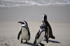 Penguins on Boulders Beach, South Africa. I want to go so badly!