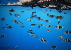 school of sergeant major fish by the melia sharm hotel egypt red sea snorkeling photo - Compact Hotel 2015