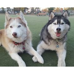 Tag a husky lover! ❤️ Photo by our friends @luv4huskies