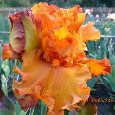 Pflanzen Iris 'GOLDEN PANTHER' Parent Coaching as a Career We often observe parents who are impatien Unusual Flowers, Most Beautiful Flowers, Pretty Flowers, Beautiful Gardens, Iris Flowers, Types Of Flowers, Planting Flowers, Iris Garden, Garden Plants