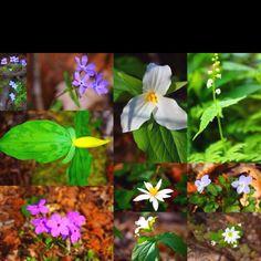 Organic Gardening Tips Gardening Zones, Gardening Hacks, Flower Identification, Woodland Flowers, Organic Gardening Tips, Garden Statues, Native Plants, Mother Earth, Garden Plants