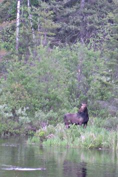 """Moose are a magnificent sight in the Boundary Waters and on the Gunflint Trail in northeastern MN. Want to see moose on your next trip """"up north?"""" Watch carefully for Alces Alces, especially in low swampy areas. Remember, this large mammal prefers temperatures under 60 degrees Fahrenheit, so you're most likely to see moose at dawn and dusk in the summer months. Keep your eyes peeled in the winter, when moose like to venture into the middle of the Gunflint Trail road to lick salt out of the…"""
