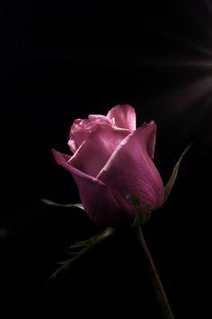 Rose by Carlos Quintero Amazing Flowers, Love Flowers, Beautiful Roses, Flower Vases, Flower Art, Flower Phone Wallpaper, Aesthetic Iphone Wallpaper, English Roses, Purple Roses