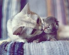 Look at the love from the mother,so tender towards her tiny kitten. Look at the kittens smoosched little ears!(LL)