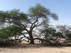 The tree of life #Bahrain