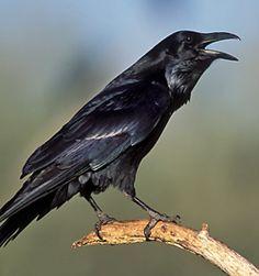 common_ravenbs_small.jpg 250×266 pixels