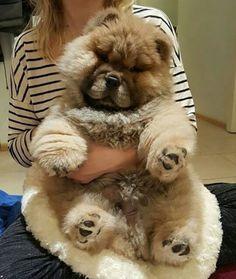 💞🐻🐼🐻💞 PHoTo :  @furryfrank__ 💞🐻🐼🐻💞 #animals #animal #pets #pet #dogsofinstagram #dog #puppy #instapuppy #puppies #woof #fluffy #paws #cachorro #perro #fashion  #model #panda #baby #hound #teddybear #love #filhote #babyanimals #chowchow #nature  #chowchowpuppy #강아지 #犬 #개  _____________________________  ADMiN : @SePeHR.HaNiFi ADMiN 2 : @DeLViN_CHoW  TaG YouR FRieNDs :👇👥👇