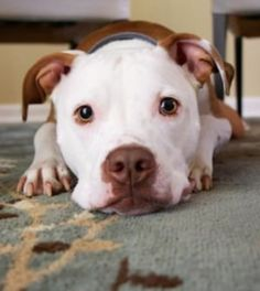 White Pit Bull - Cute White Pitbull and Colorful Eyes Love My Dog, Dog Flea Treatment, Baby Animals, Cute Animals, Dog Potty, Pet Dogs, Pets, Doggies, Dog Insurance