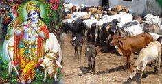 Shivbalak Goswami Ji Vastaw me EK Gau Sewak Hai aur Gau Seva ko hi Apana Dharam Mante Hai.