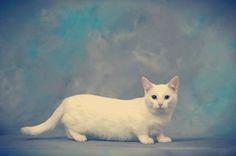 El Munchkin fue presentado por primera vez al gran público en 1991 mediante un show norteamericano televisado por la TICA (The International Cat Association) en Madison Square Garden.