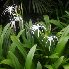 Hymenocallis caribaea 'Tropical Giant'-Caribbean spider lily – My All Pin Page Lily Plants, Flowers Perennials, Plants, Shade Garden, Tropical Plants, Moon Garden, Trees To Plant, Landscape, Lilly Plants