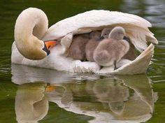 http://pinterest.com/gprocksu Swans Motherly Love <3