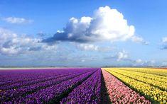 Pretty Tulip Fields!